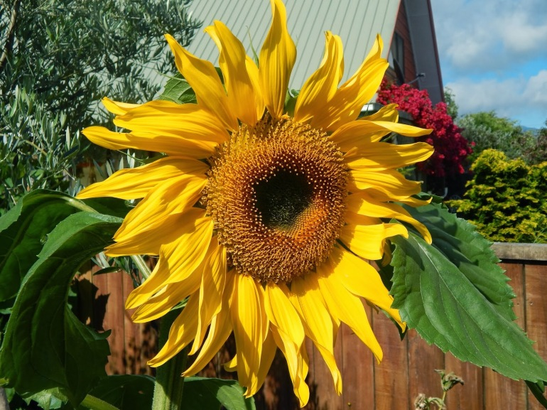 Sunflower, or floral sun!