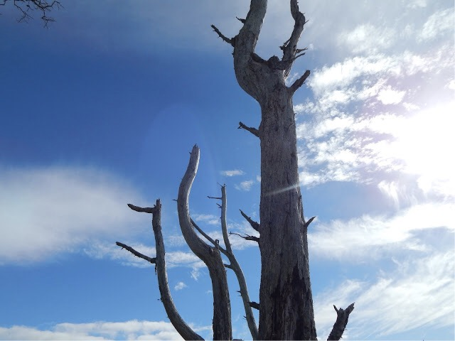 Dead trees stand reaching into the sapphire blue sky.